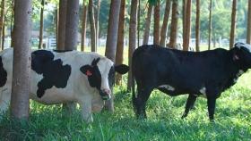 ¿Puede el sistema silvopastoril incrementar la eficiencia reproductiva del ganado lechero?