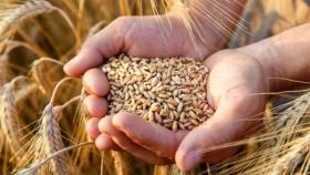 Gran año para producir trigo