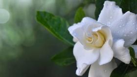 Jardín: siete pasos para tener jazmines sanos