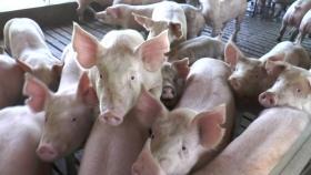 Las exportaciones de cerdo aumentaron un 75% en el primer bimestre de año, pero alertan por una caída de la producción