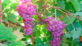 Crean 9 variedades de uvas de mesa  sin semillas