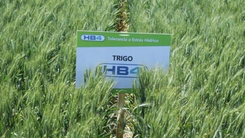 Polémica: Brasil vs. trigo transgénico