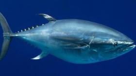 Día Mundial del Atún: una de las especies más consumidas en el mundo por su alto valor nutricional