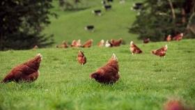 Sostenibilidad y huevos ricos en omega-3, las claves de una granja modelo en Nueva Zelanda