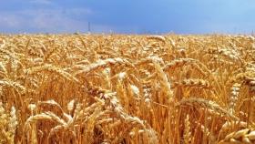 Australia cosechará una cantidad récord de trigo en la temporada 2020/2021