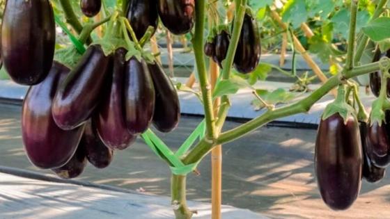 Berenjenas: cómo realizar la poda y tutorado para el cultivo en la huerta