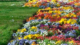 Plantas perennes cultivadas como anuales