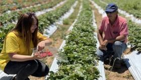 Ruta de la frutilla sustentable permite a los turistas hasta cosechar la fruta que compran