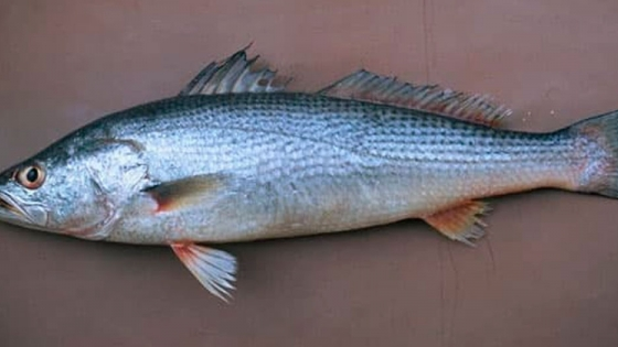 Pescadilla o Merluza, Carnada y encarne