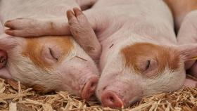 Serket: la tecnología más avanzada del mundo para granjas porcinas