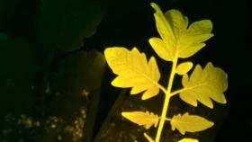 Esta planta de tomate bioluminiscente brilla con diferentes colores si le falta agua o si le atacan insectos