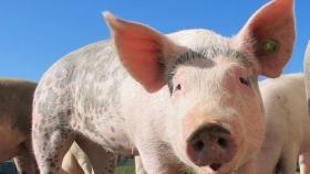 Para el 2030 las exportaciones porcinas podrían superar a las de carne vacuna