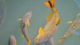 Pesca de Dorado (Salminus maxillosus)