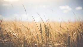 Cuáles son los controles de adversidad que se deben tener antes y durante el cultivo de trigo