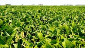 La campaña de soja 2020/21 aportará este año unos US$ 8.000 millones más que en 2020
