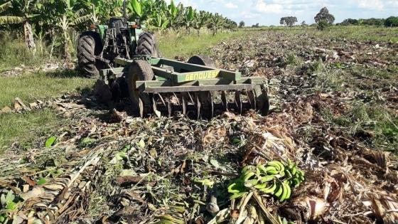 Alerta por la producción bananera en Formosa