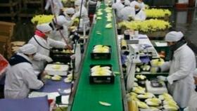 Tecnología de procesos en la producción de Endivias