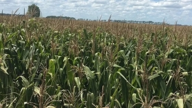 La enfermedad del carbón de la panoja amenaza al maíz: cómo actuar