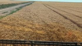 Patagonia con altos rindes de trigo