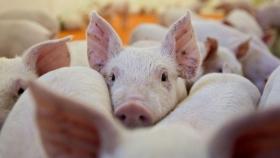 Riesgo sanitario y ambiental acompañaría la instalación de factorías de carne porcina