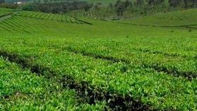 Coronavirus: por la pandemia están demoradas las exportaciones de té