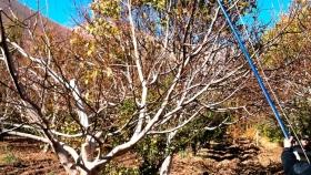 En los últimos 15 años se triplicó la cantidad de hectáreas con nogales en San Rafael