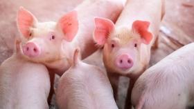 """E-diagnóstico"", la aplicación que sirve de guía en el análisis de enfermedades porcinas"