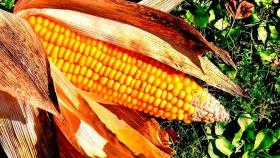 Leve suba en el mercado local para el maíz