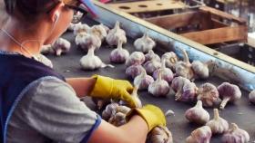 Fuerte crecimiento en la producción argentina de ajo