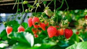 La producción de frutilla en Tucumán no se ha visto afectada por la pandemia