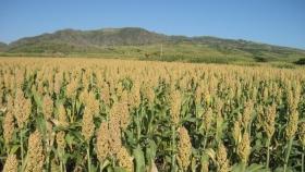El sorgo parece prometedor como cultivo forrajero en los Países Bajos