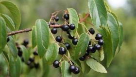 Qué es el maqui? Un fruto silvestre originario de la Patagonia que el INTA busca domesticar para convertir en un cultivo comercial