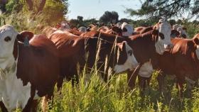 Estudian el efecto de la ganadería integrada al bosque nativo