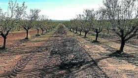 El uso de cubiertas vegetales reduce hasta un 50% los costes en el almendro