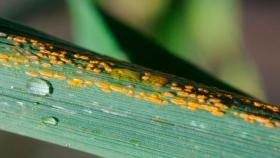 Enfermedades en trigo: recomendaciones para no perder