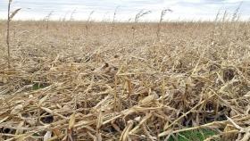 Cosecha del maíz quebrado por el viento: cómo la está haciendo Iván Lubatti