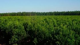 Apoyo a la protección sanitaria del cultivo de la yerba mate en Misiones