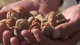 Los frutos secos se posicionan en los valles norpatagónicos