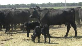Optimismo Crea: más rotación agrícola, más retención de vientres y más producción de leche