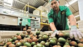 Expectativas de la producción y comercio del aguacate mexicano