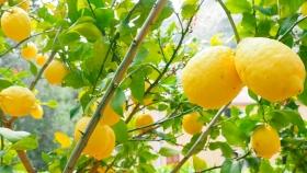 Se espera una caída del 30% de la producción del limón argentino en el ciclo 2020/21