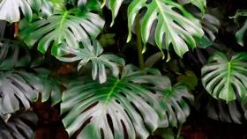 Plantas: la costilla de Adán, versátil y hogareña