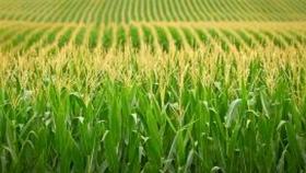 Clave: los siete enfoques que se deben tener en cuenta para la siembra de maíz 2020/21