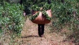 La Argentina debió importar yerba mate para hacer frente a la escasez