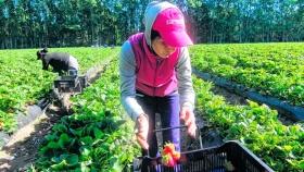 Productores de plantines de frutillas podrán hacer el lavado en Plottier