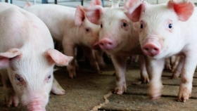 Las granjas porcinas podrían convertirse en ejemplos de economía circular