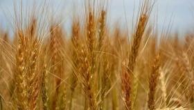 China compra trigo y maíz y en Brasil hay más soja: aspectos destacados de la oferta y demanda mundial de granos