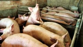 Alemania superó los 1.000 casos de peste porcina africana