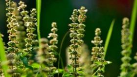 Proyecto FIA comprueba que la semilla de albahaca produce un aceite similar a la de chía