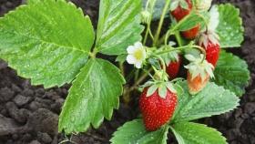 Los productores mexicanos de fresas se vuelcan a la ecología